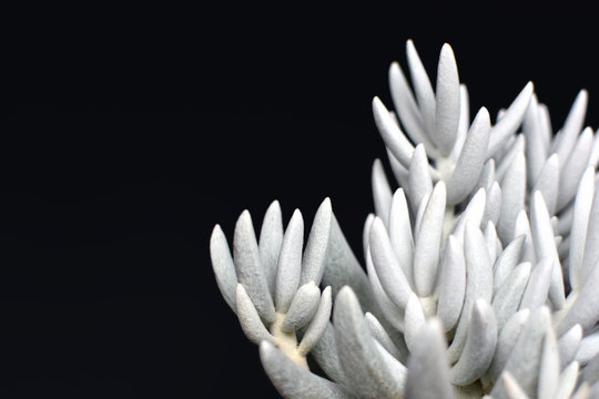 Beautiful white Senecio Haworthii succulent house plant on dark black background