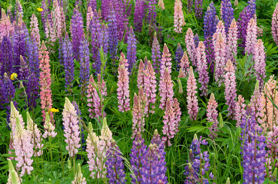 Lupinus field with pink purple and blue flowers
