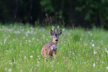 Fototapeta Young roe deer with growing antler grazing grass on the meadow