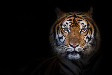 Portrait of tiger.