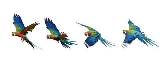 Four flying patterns of macaw parrots. Fotomurales