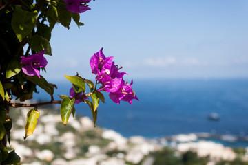 magenta flower extending