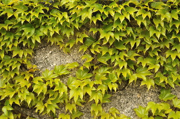 green leaves of creeping vine plant at a garden wall