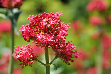 close-up of inflorescence of a red valerian in a garden