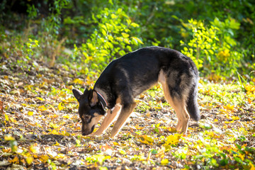 Mongrel dog snuffing ground on autumn forest