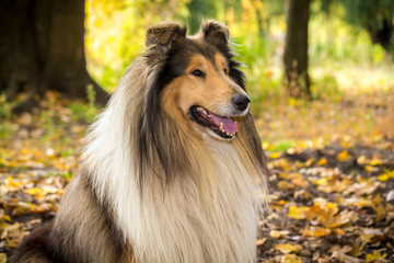 Portrait of collie dog on autumn forest