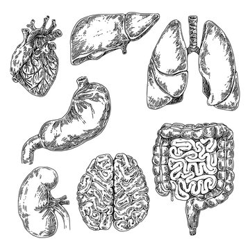 Human anatomy. Set of internal organs. Large and small intestine, stomach, heart, liver, reins, brain and lungs. Sketch. Engraving style. Vector illustration.