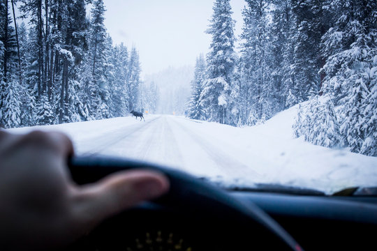 A drivers perspective of a moose on a road on route 12 near Lolo Pass.