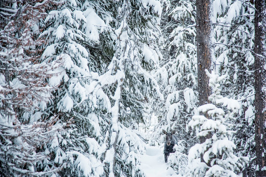 A cow moose stands in the trees on  winter day near Lolo Pass, Montana