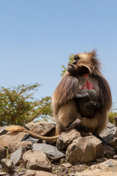 Gelada Baboon also known as Bleeding heart monkey endemic only in Ethiopia