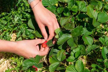 Hände beim Erdbeerpflücken im Sonnenschein.  Standort: Deutschland, Nordrhein-Westfalen, Heiden