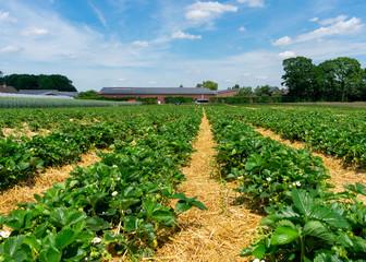 Erdbeerpflanzen in Reihen auf dem Feld.  Standort: Deutschland, Nordrhein-Westfalen, Heiden