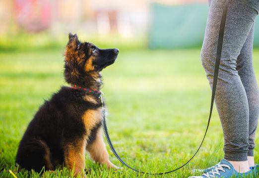 German shepherd puppy during a training session in a puppy school