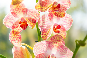 Orchid flower pink and yellow bloom. Phalaenopsis orchid. Floral concept. Orchid growing tips. How take care of orchid plants indoors. Most commonly grown house plants. Orchids blossom close up