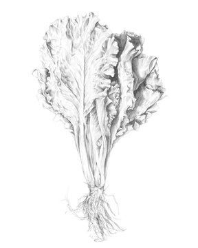 Hand drawn pencil illustration of lettuce
