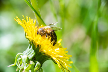 Honey bee gathers nectar