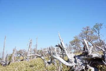 大台ケ原 枯れ木