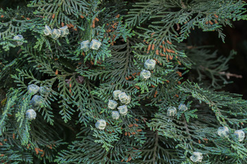 thuja leaves and immature cones