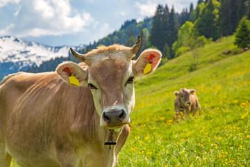 Allgäu - Kuh - Hörner - Alpen - Frühling - Blumen