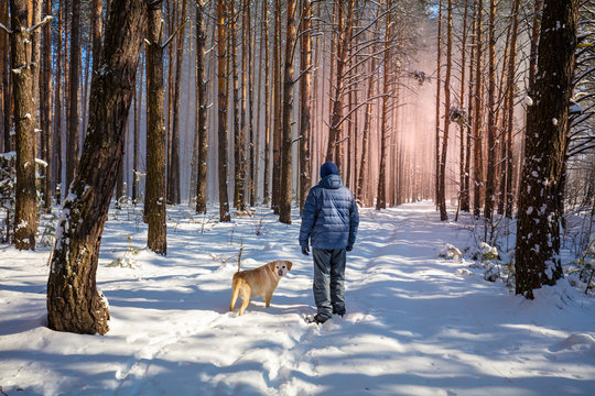 Happy man with the Labrador retriever dog on a leash walking on a snowy pine forest on a sunny winter day