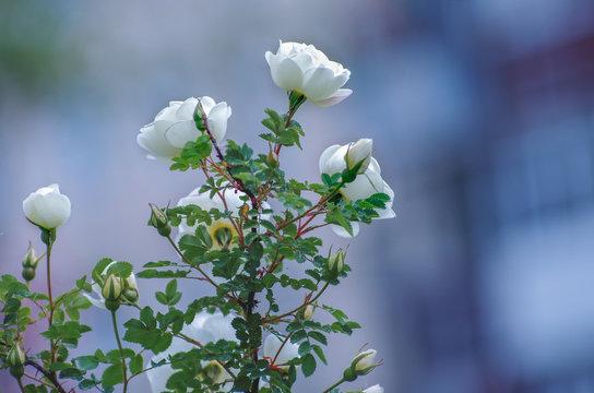 Flowering bush of a rose