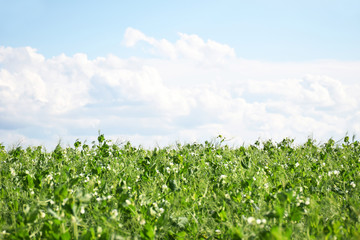 Green Pea field farm in bright day with blue sky and white clouds with copy space. Growing peas outdoors and blurred background. Wall mural