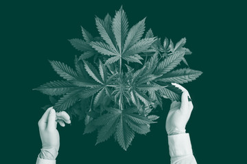 marijuana leaves, background green, top view hemp CBD, Growing cannabis indica, marijuana vegetation plants, cultivation cannabis, green toned