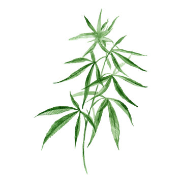 Watercolor hand drawn vector painting illustration of green branch Cannabis sativa (Cannabis indica, Marijuana) medicinal plant with leaves  isolated on a white background. Harvesting, planting weed