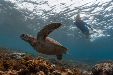 Wall Mural - Woman snorkeling with the huge sea turtle swimming over the shallow reef
