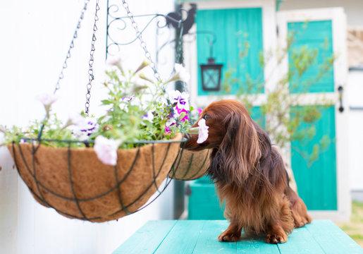 庭を楽しむダックスフンド