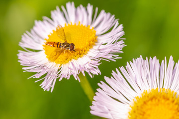 Bee on white and yellow daisy flower