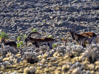 Fototapeta A herd of very rare walia ibex, Capra walie in high in the mountains of Simien mountains national park, Ethiopia. obraz