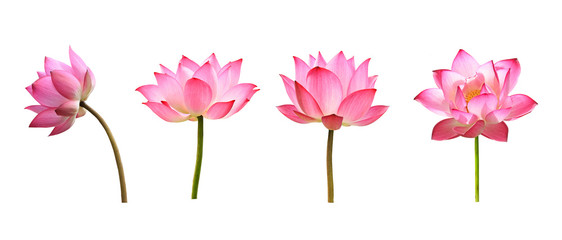 Foto auf AluDibond Lotosblume lotus flower on white background