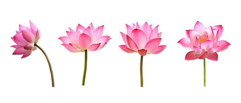 lotus flower on white background