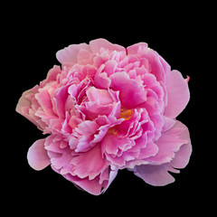 isolated single pink peony blossom on black background, fine art still life vintage painting style colorful floral macro of a single isolated bloom with filigree detailed texture