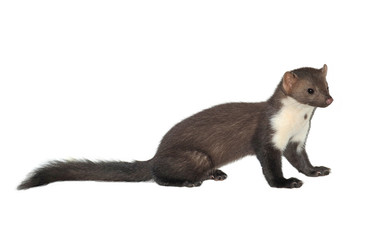 Stone marten or Beech marten (Martes foina), isolated on White background Wall mural
