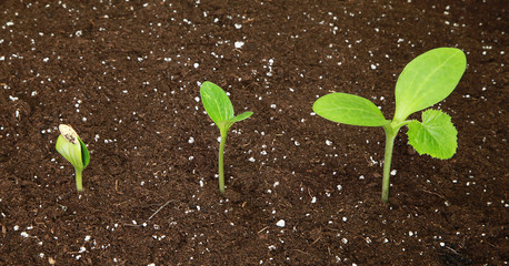 Semis de courgette