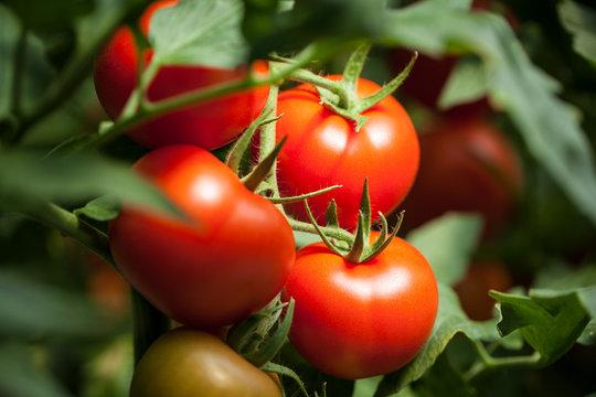 "Tomatoes – ""Pomodori"""