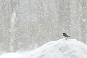 Fototapeta Bird in a snow storm