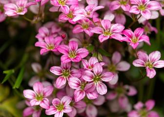 pink Saxifraga Welsh rose flowers growing in a rockery, alpine garden.