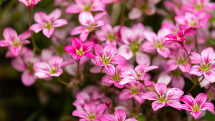 pink Saxifraga Welsh rose flowers growing in a rockery, alpine garden.