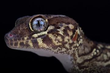 Wall Mural - Panther gecko (Paroedura picta)