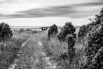 Black and white picture of a cow on a beach at Saaremaa Estonia
