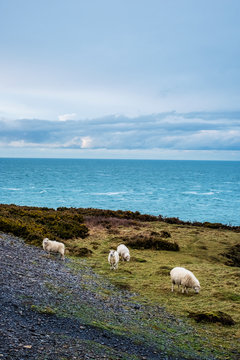 Sheep grazing on clifftop along the coastline of Pembrokeshire National Park, Wales, UK.