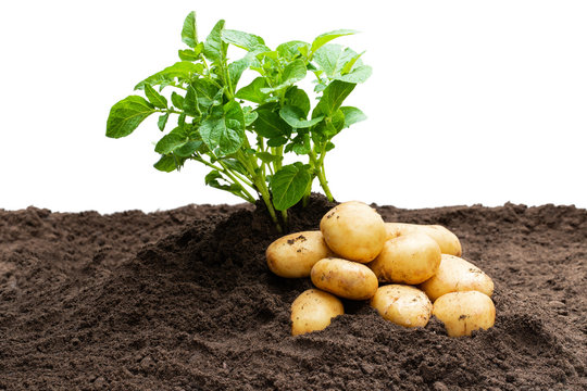 Potato sprouts with baby bulbs in soil isolated on white. Concept of huge harvest.