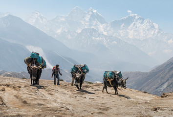 Nepal, Solo Khumbu, Everest, Dingboche, Sherpa guiding pack animals through the mountains