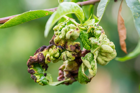 Fungal diseases of fruit trees. Taphrina deformans. Leaves of fruit trees with leaf curl disease