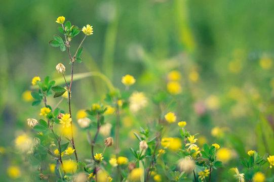 Black medic flowers in the field