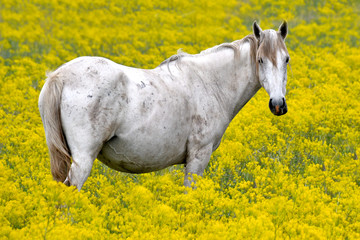 White horse in a field of yellow flowers