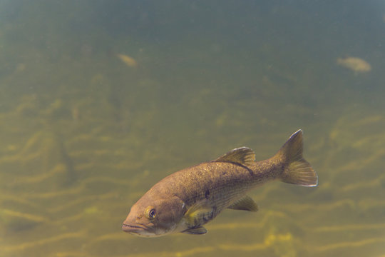 Small mouth bass underwater in natural habitat